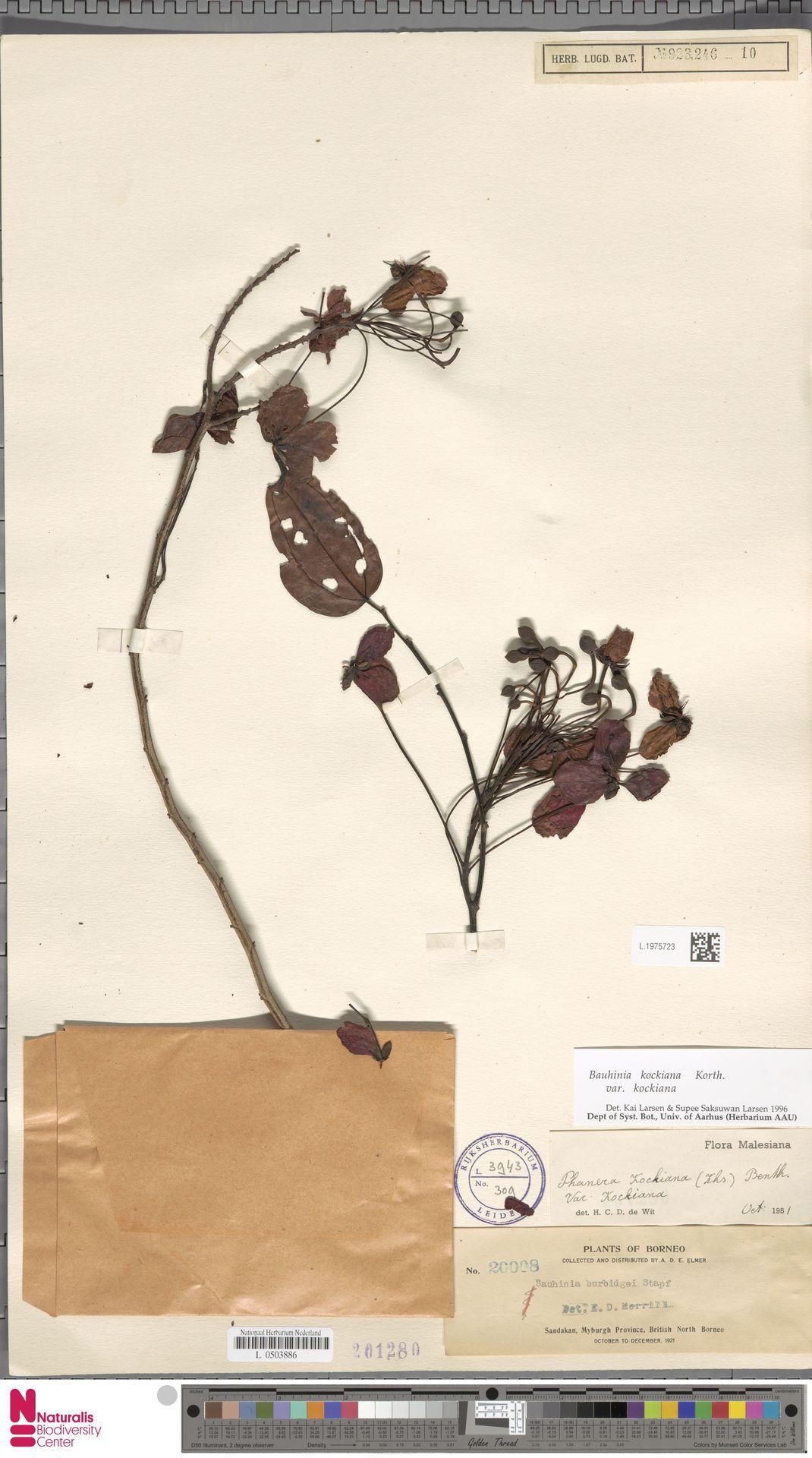 L.1975723 | Bauhinia kockiana var. kockiana