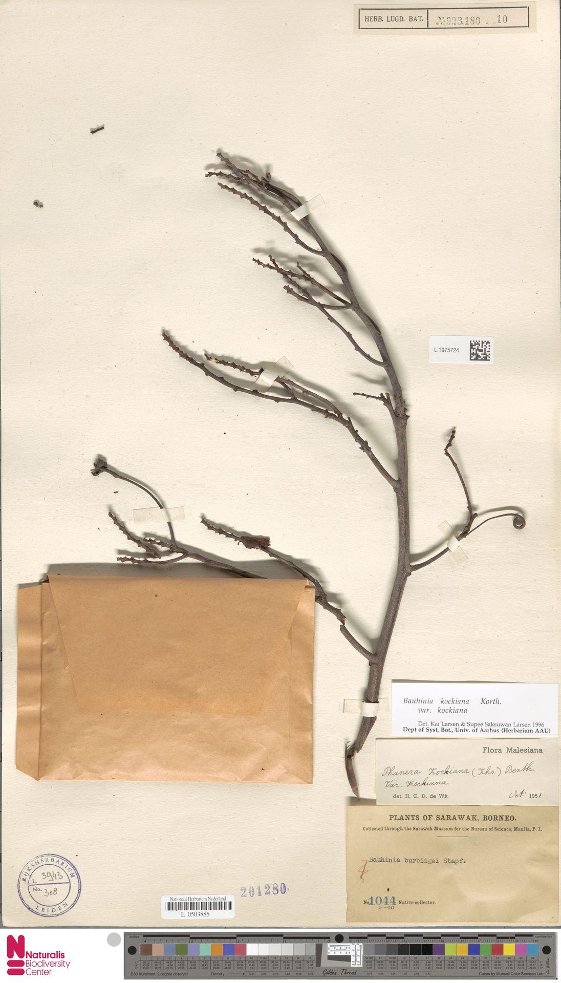 L.1975724 | Bauhinia kockiana var. kockiana