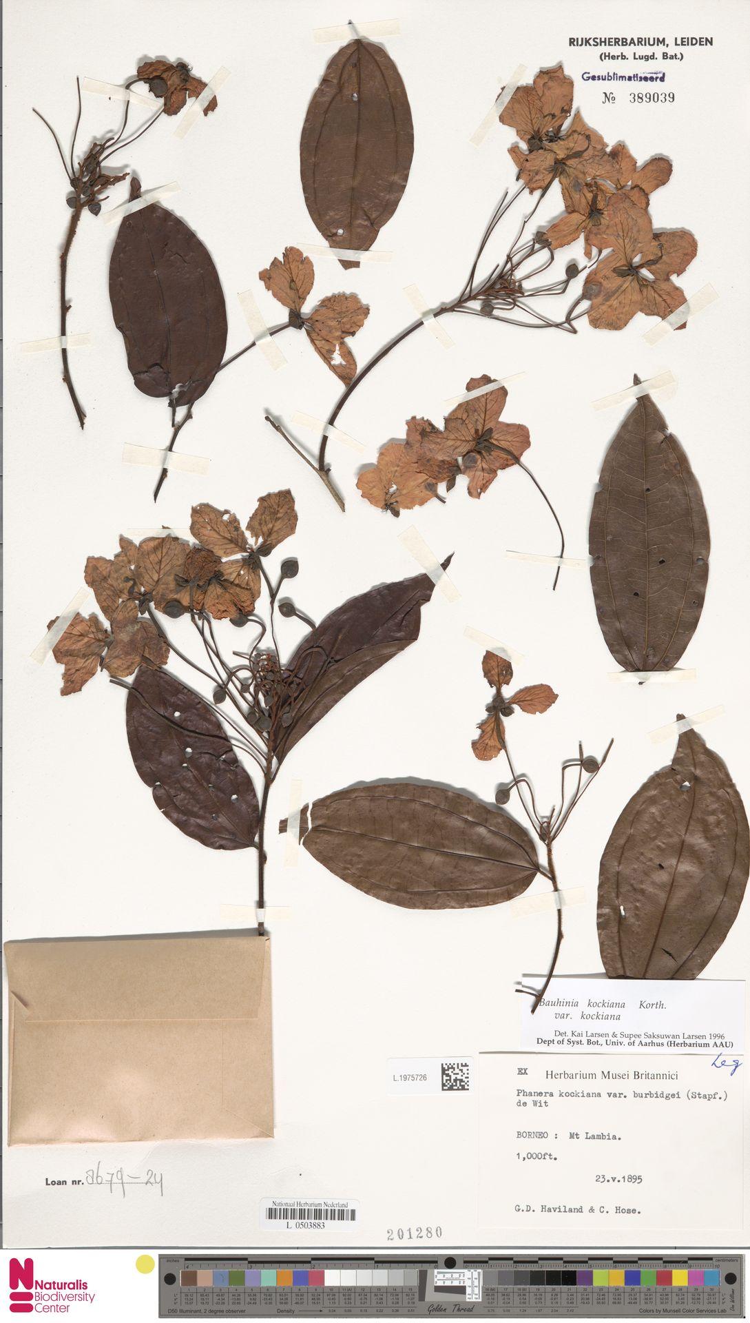 L.1975726 | Bauhinia kockiana var. kockiana