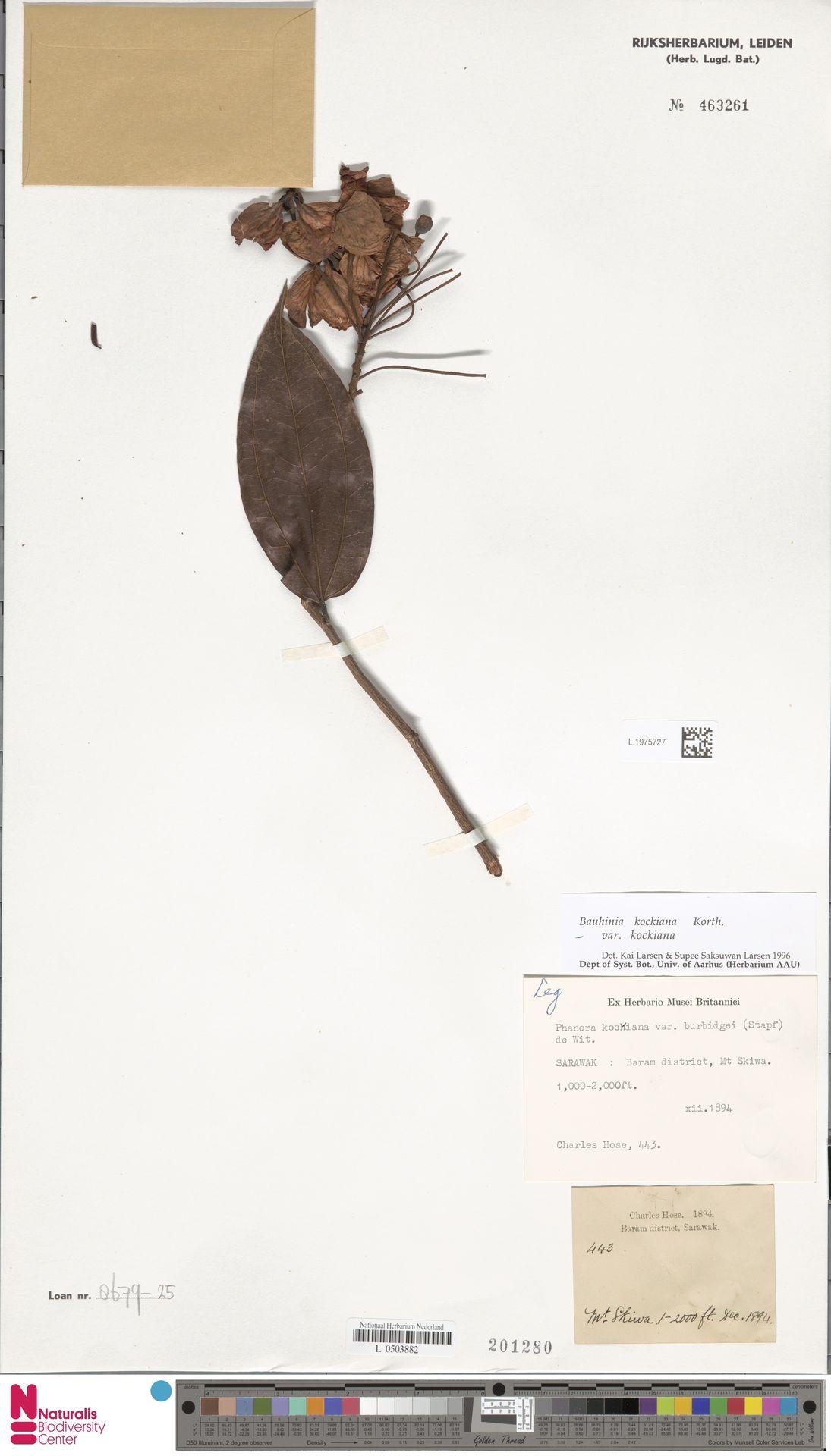 L.1975727 | Bauhinia kockiana var. kockiana
