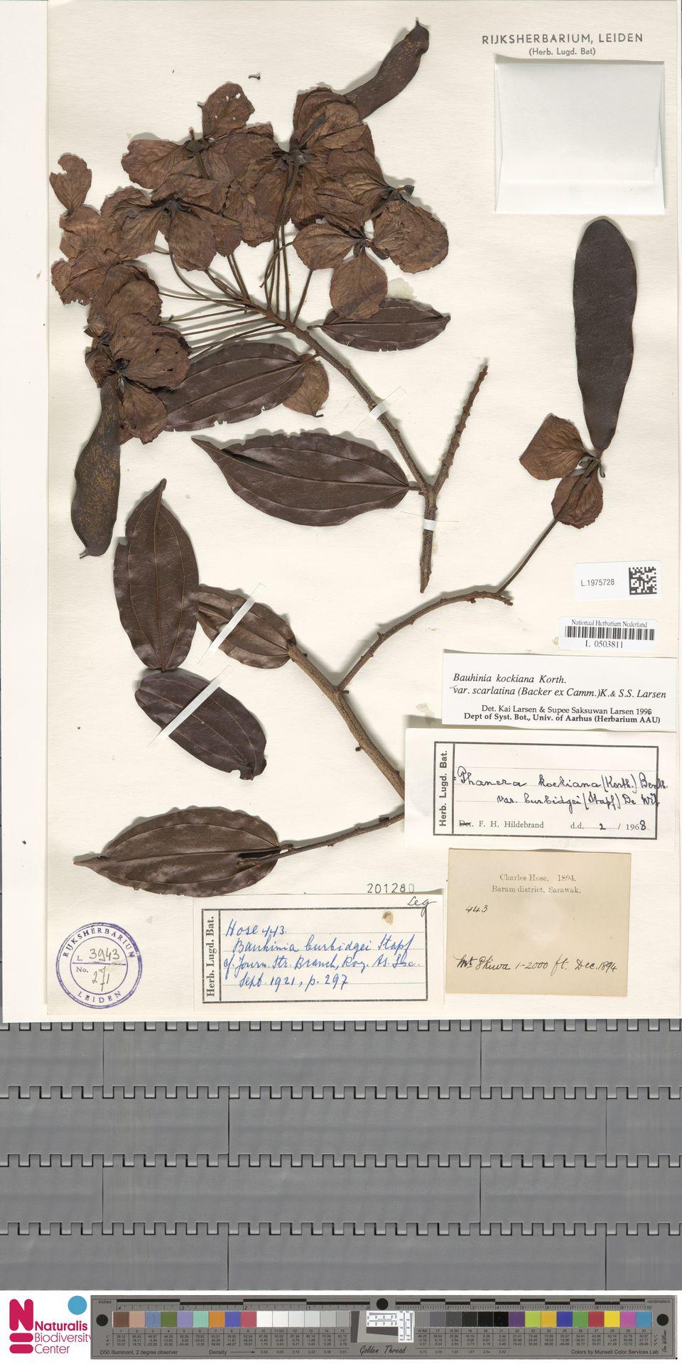 L.1975728 | Bauhinia kockiana var. kockiana