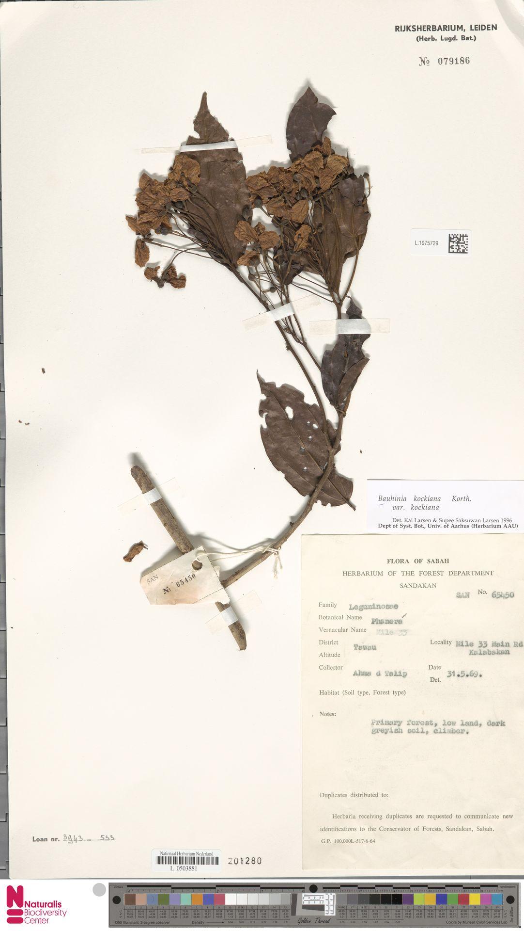 L.1975729 | Bauhinia kockiana var. kockiana