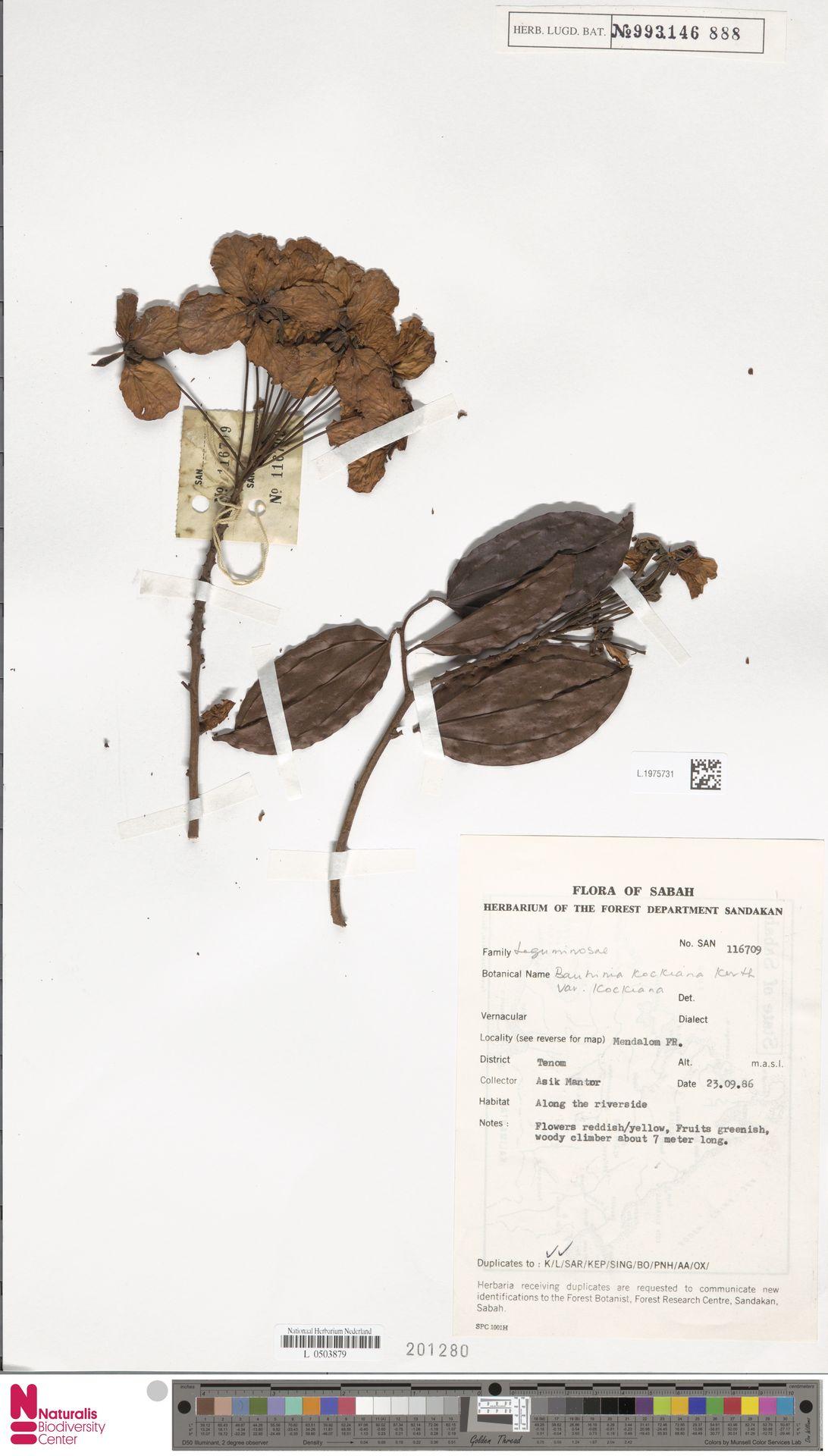 L.1975731 | Bauhinia kockiana var. kockiana