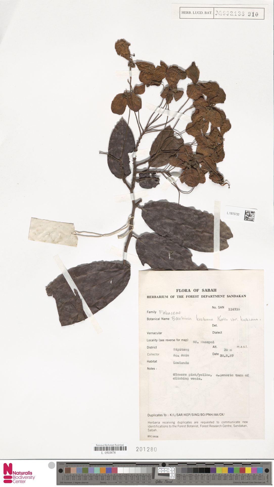 L.1975732 | Bauhinia kockiana var. kockiana