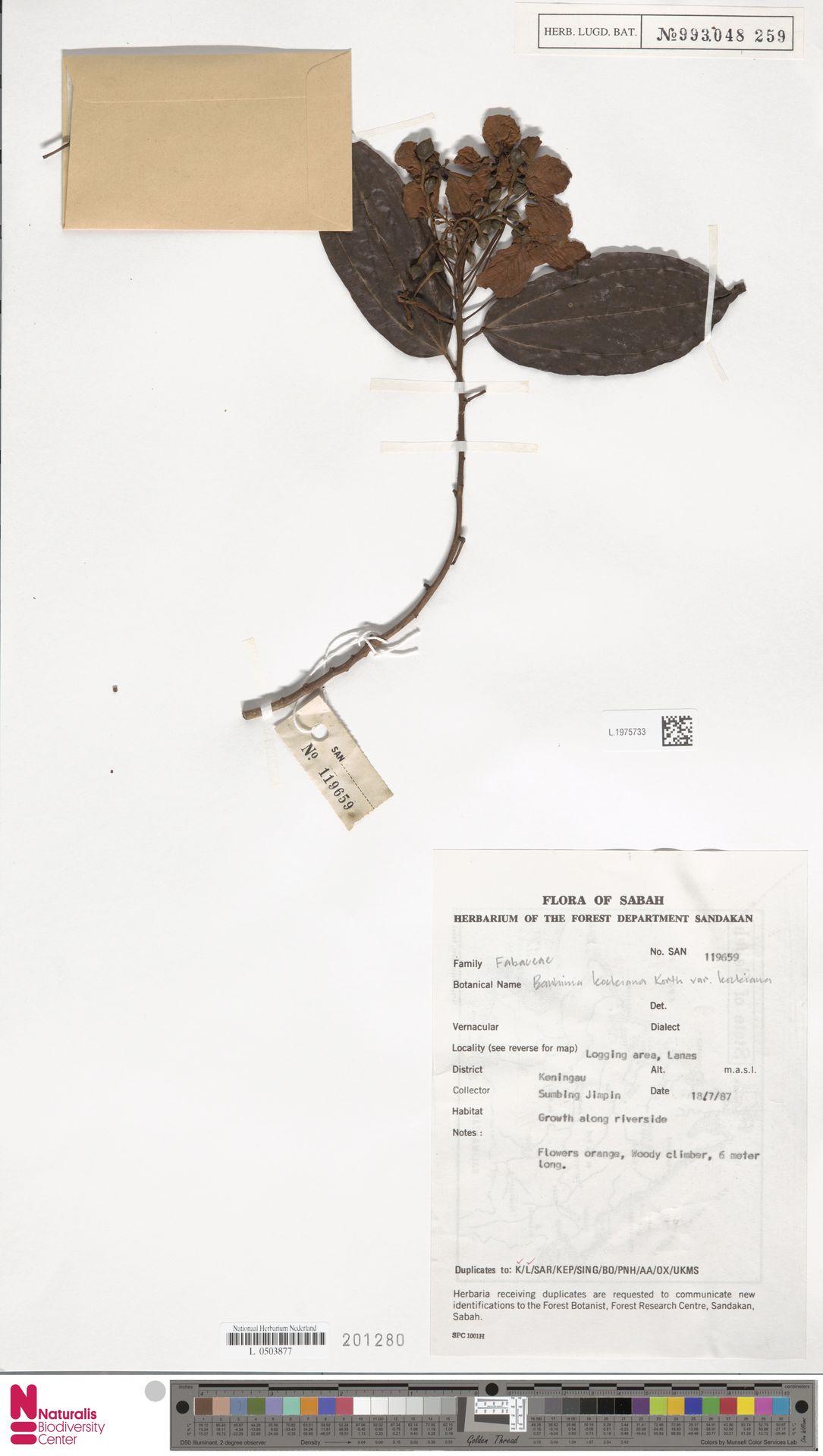 L.1975733 | Bauhinia kockiana var. kockiana