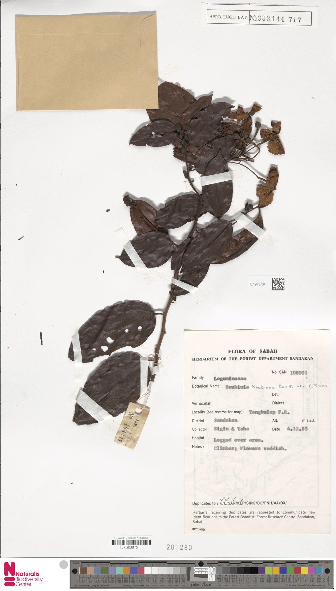 L.1975734 | Bauhinia kockiana var. kockiana