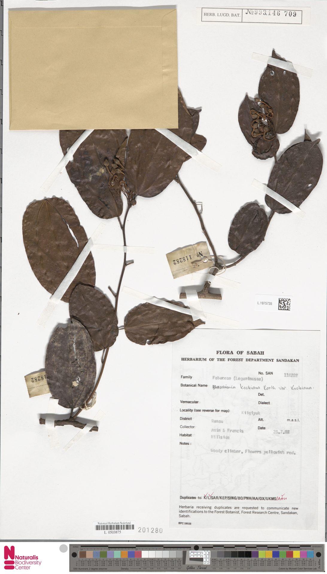 L.1975735 | Bauhinia kockiana var. kockiana
