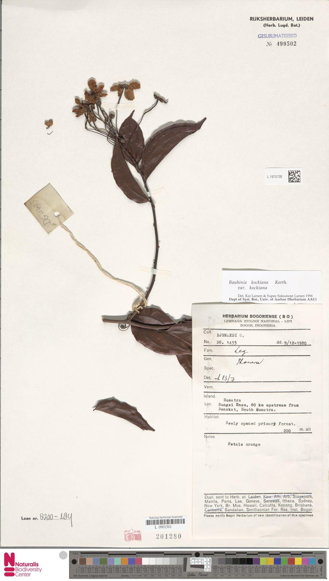 L.1975738 | Bauhinia kockiana var. kockiana