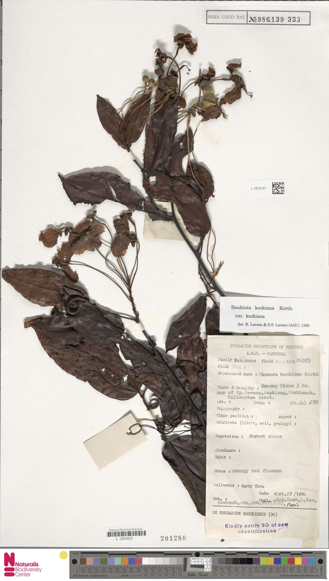 L.1975741 | Bauhinia kockiana var. kockiana