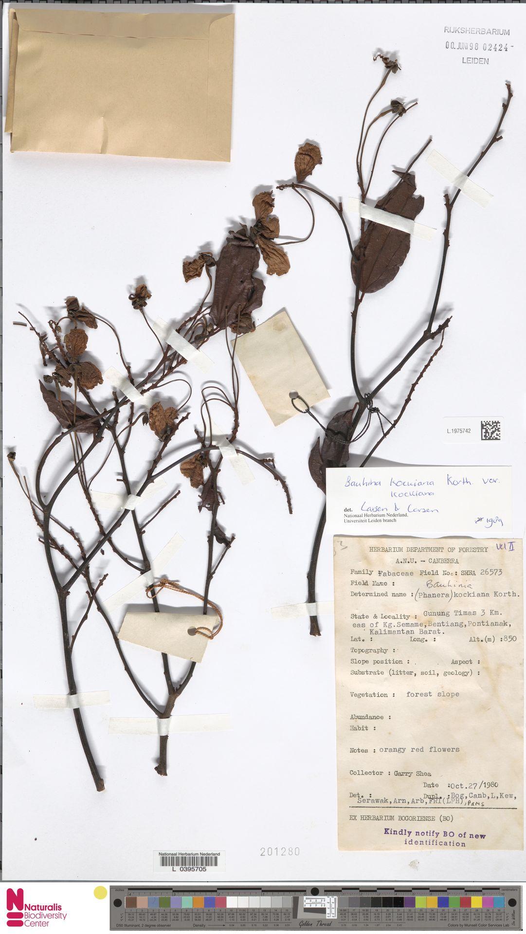 L.1975742 | Bauhinia kockiana var. kockiana