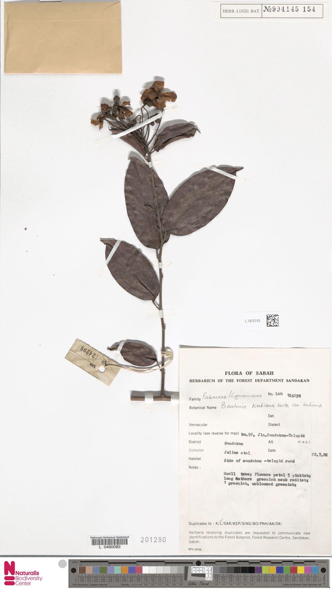 L.1975743 | Bauhinia kockiana var. kockiana