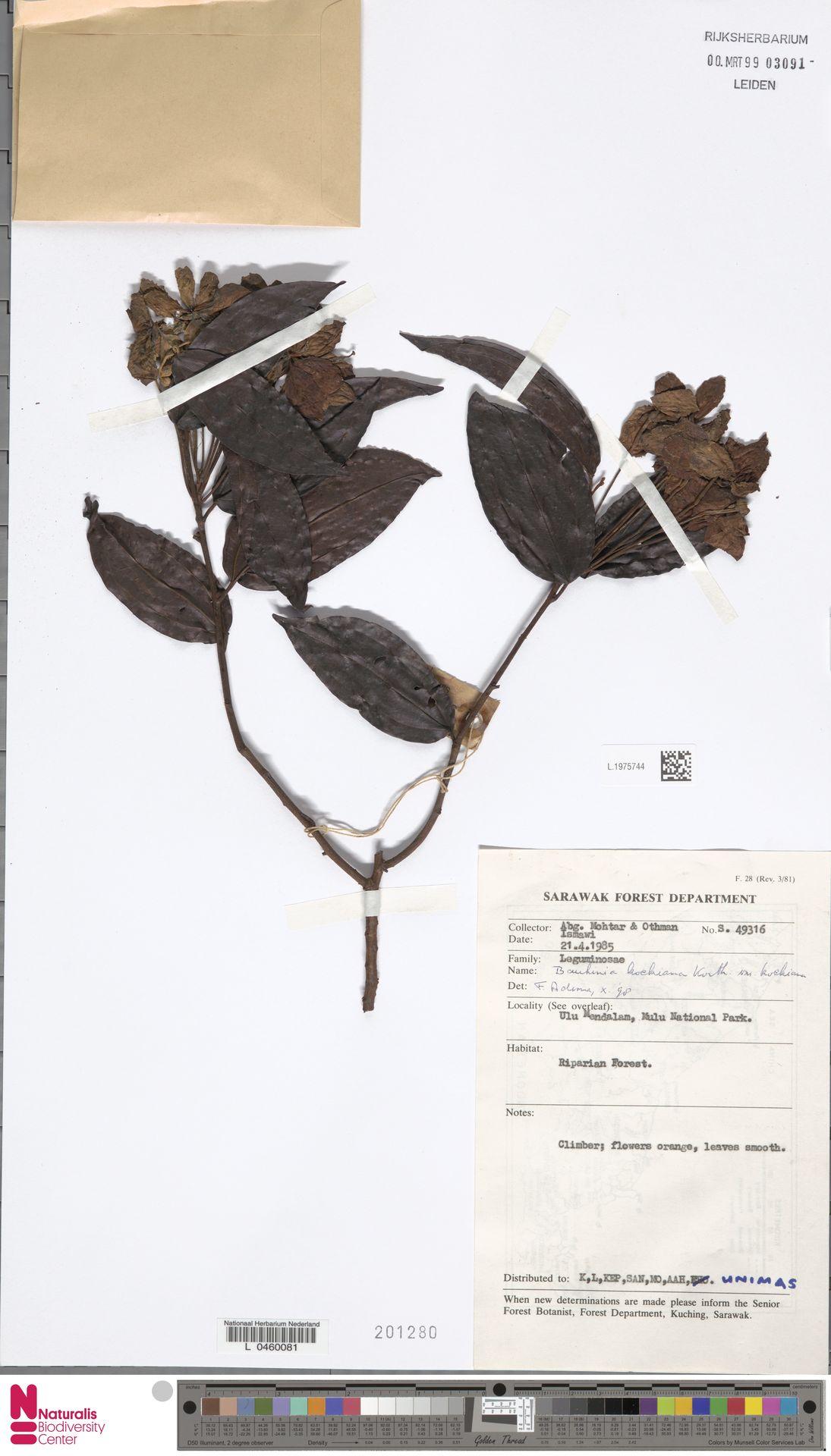 L.1975744 | Bauhinia kockiana var. kockiana