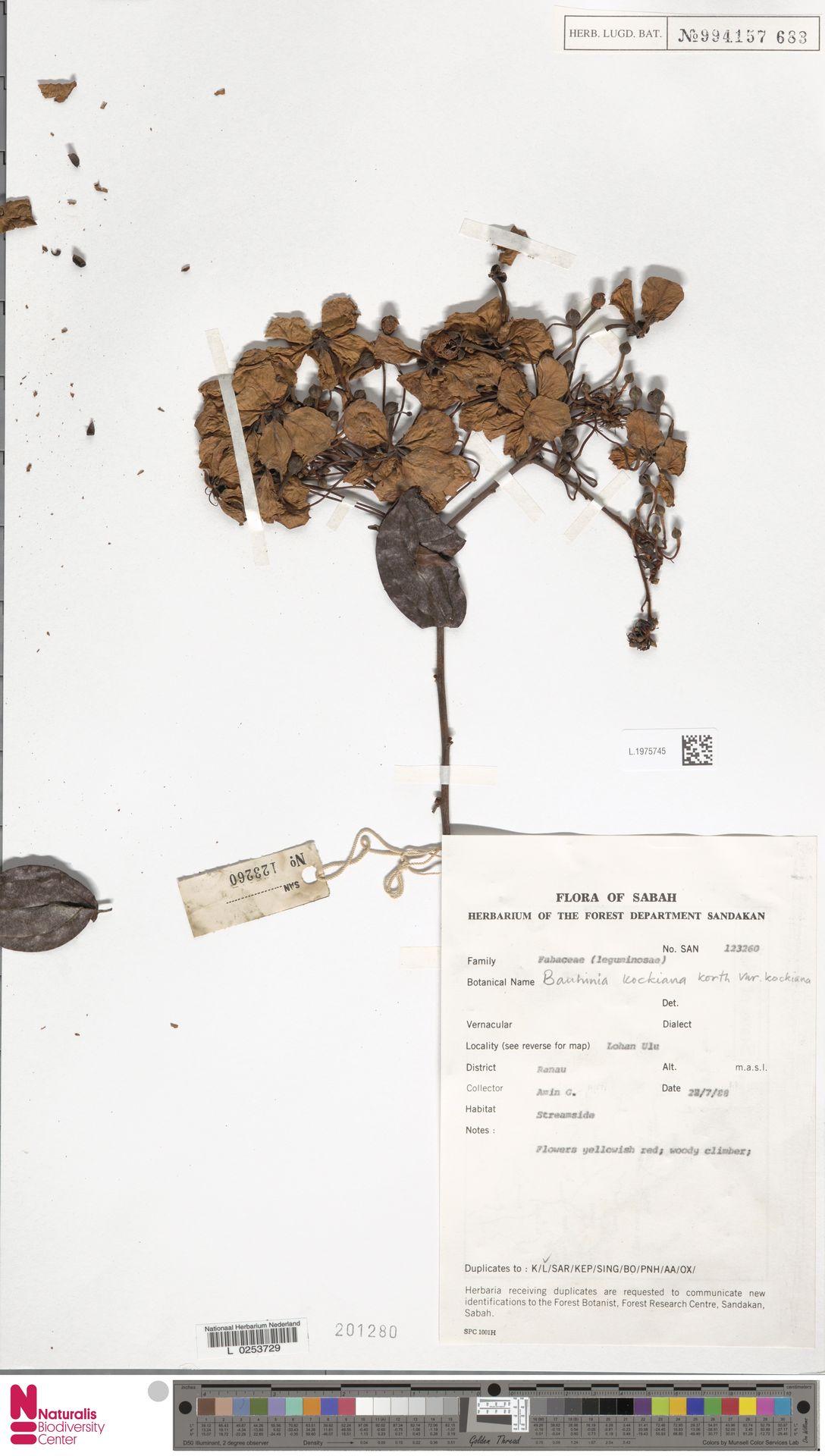 L.1975745 | Bauhinia kockiana var. kockiana