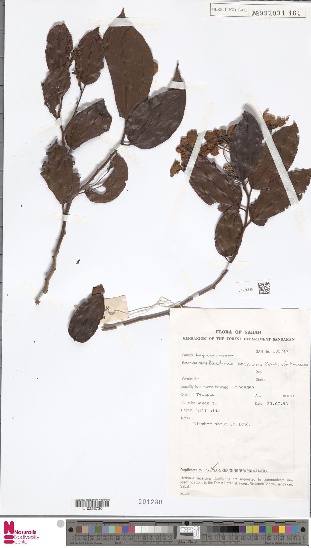 L.1975746 | Bauhinia kockiana var. kockiana