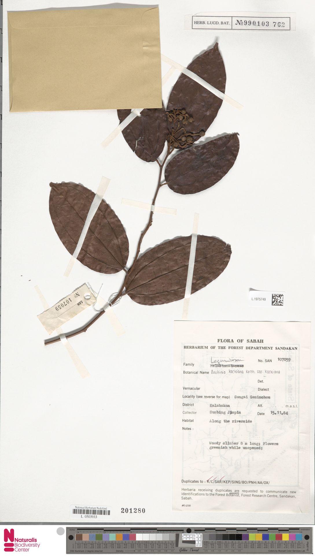 L.1975749 | Bauhinia kockiana var. kockiana