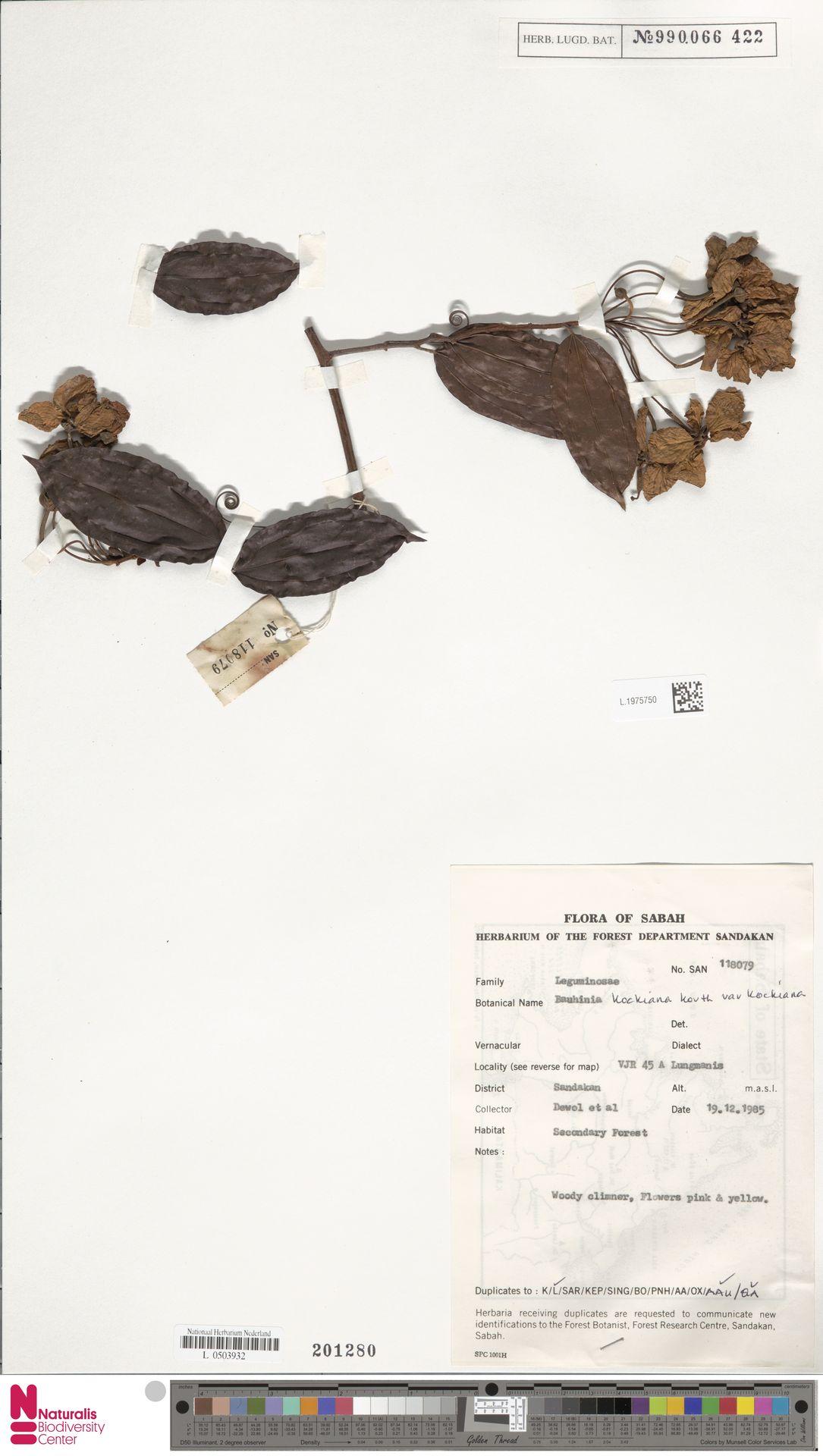 L.1975750 | Bauhinia kockiana var. kockiana