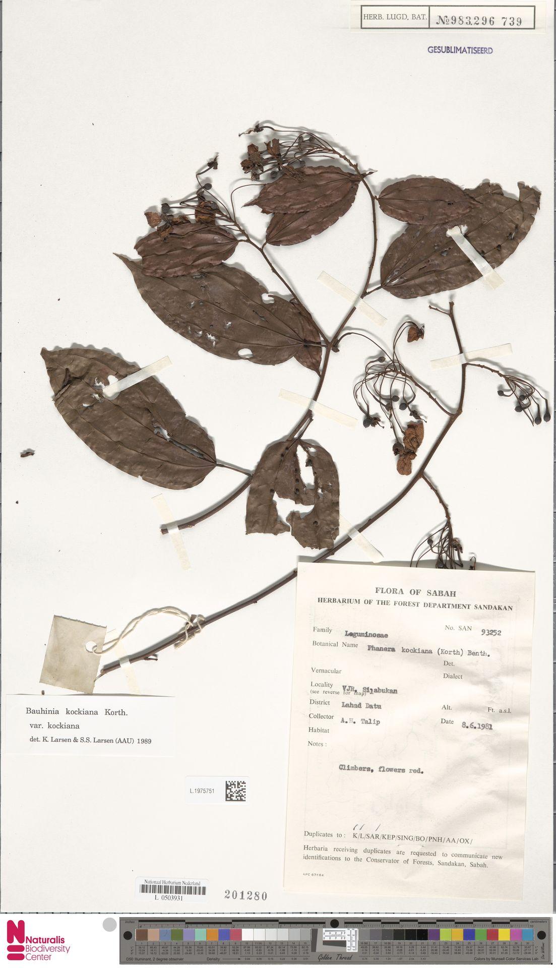 L.1975751 | Bauhinia kockiana var. kockiana