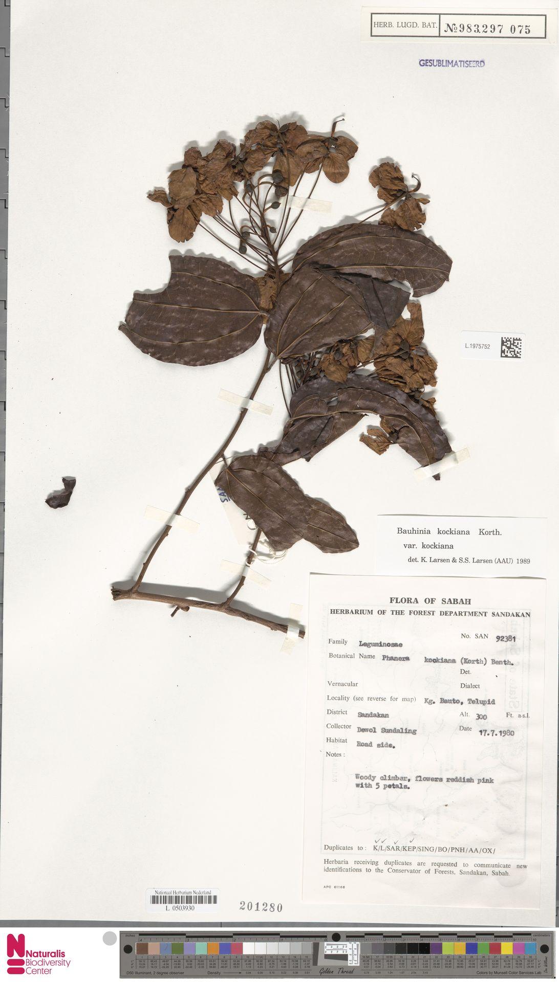 L.1975752 | Bauhinia kockiana var. kockiana