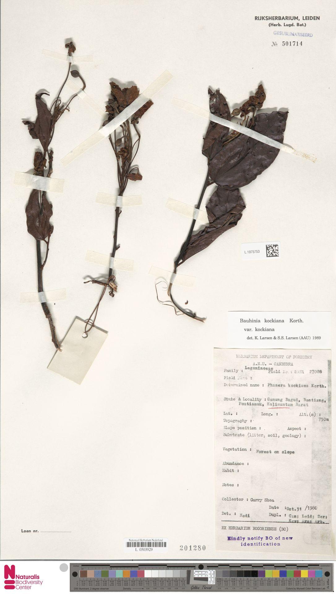 L.1975753 | Bauhinia kockiana var. kockiana
