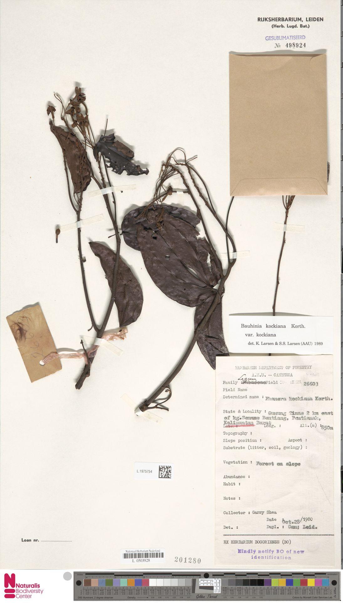 L.1975754 | Bauhinia kockiana var. kockiana