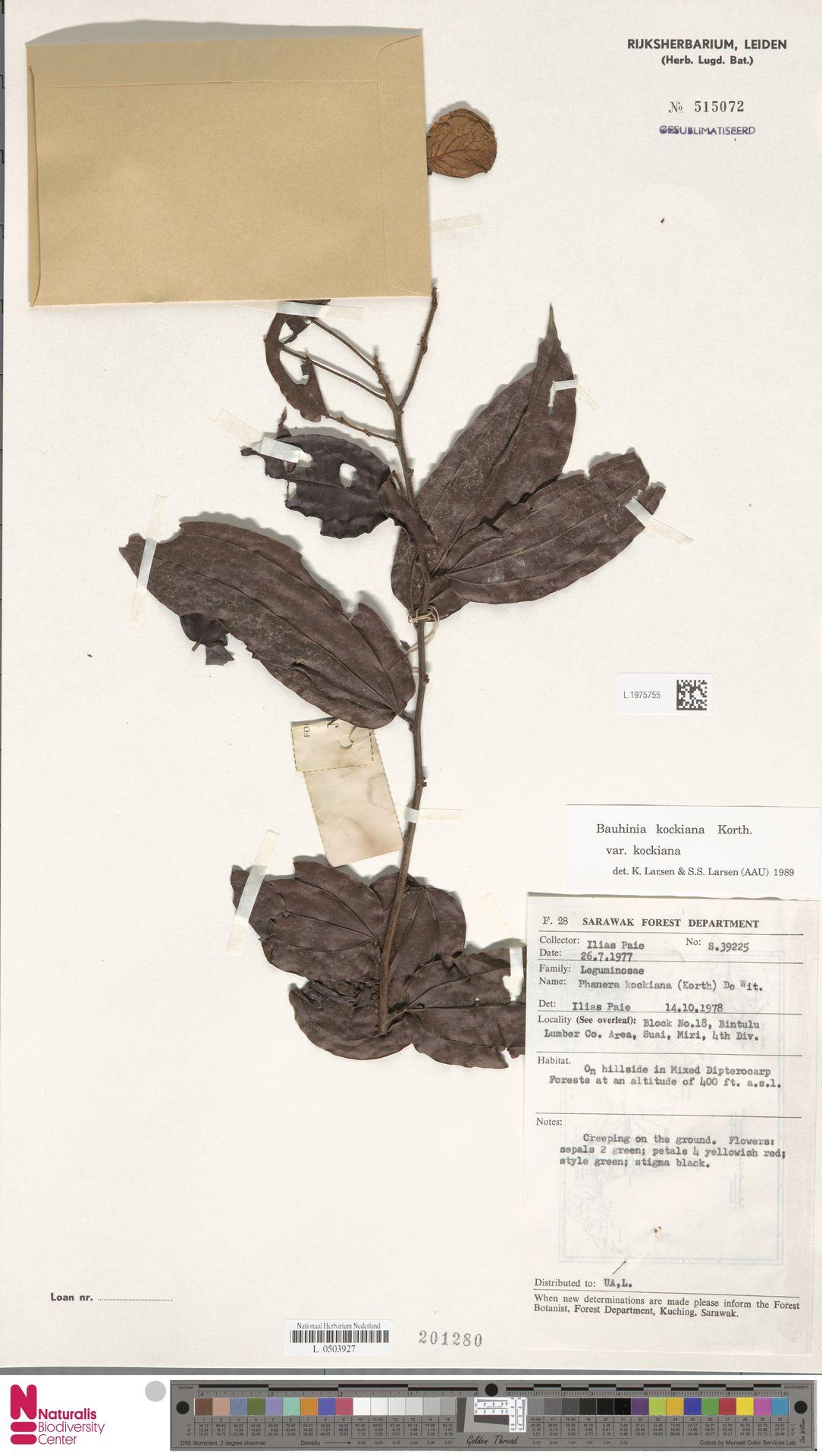 L.1975755 | Bauhinia kockiana var. kockiana