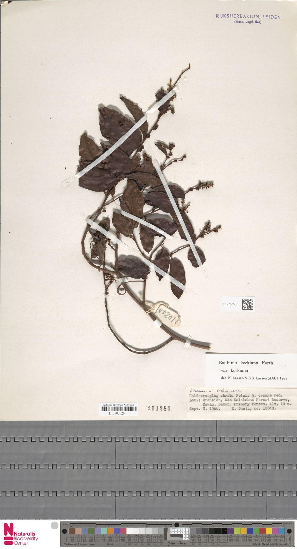 L.1975756 | Bauhinia kockiana var. kockiana