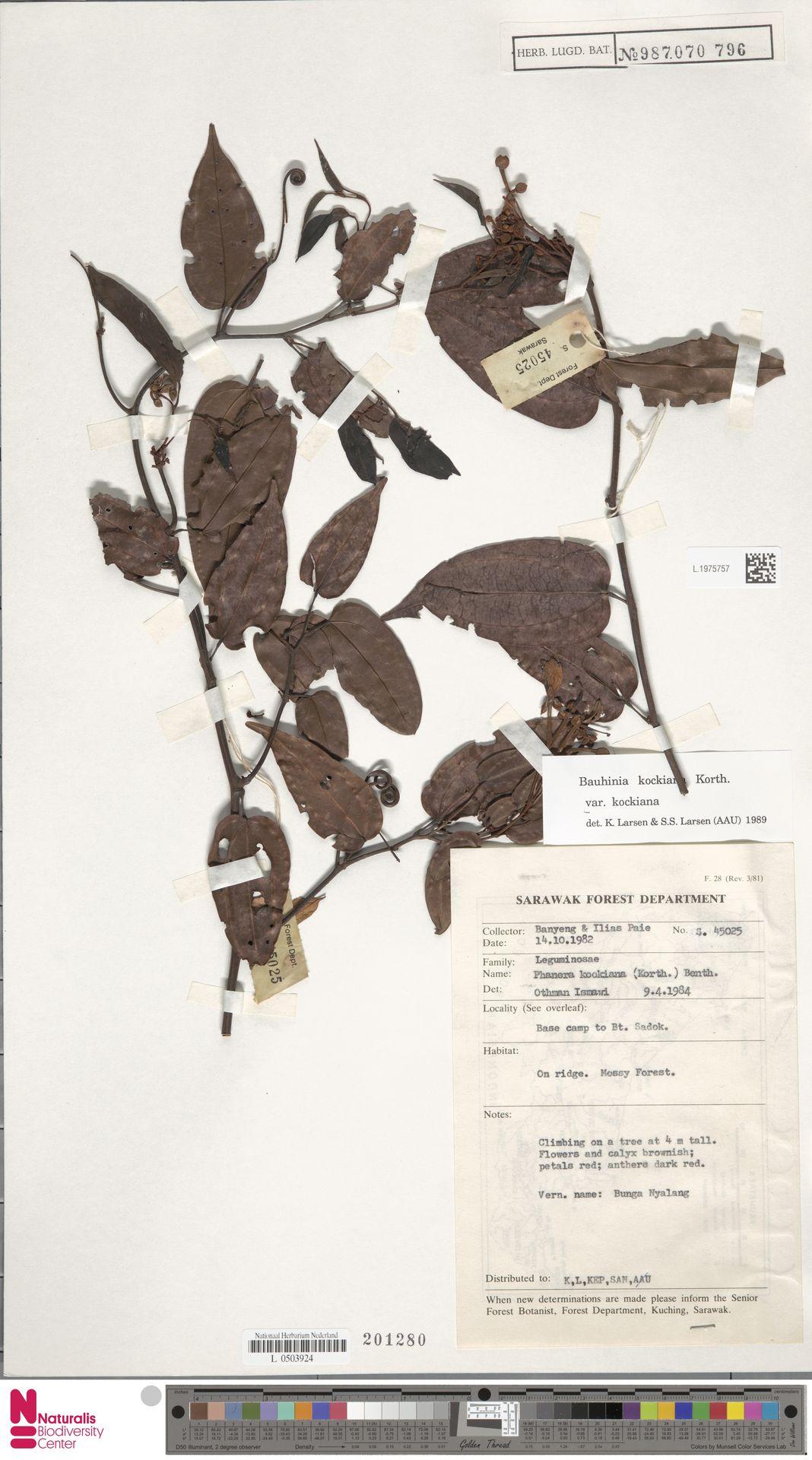 L.1975757 | Bauhinia kockiana var. kockiana