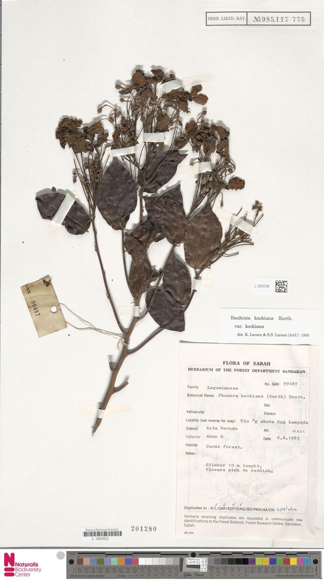 L.1975759 | Bauhinia kockiana var. kockiana