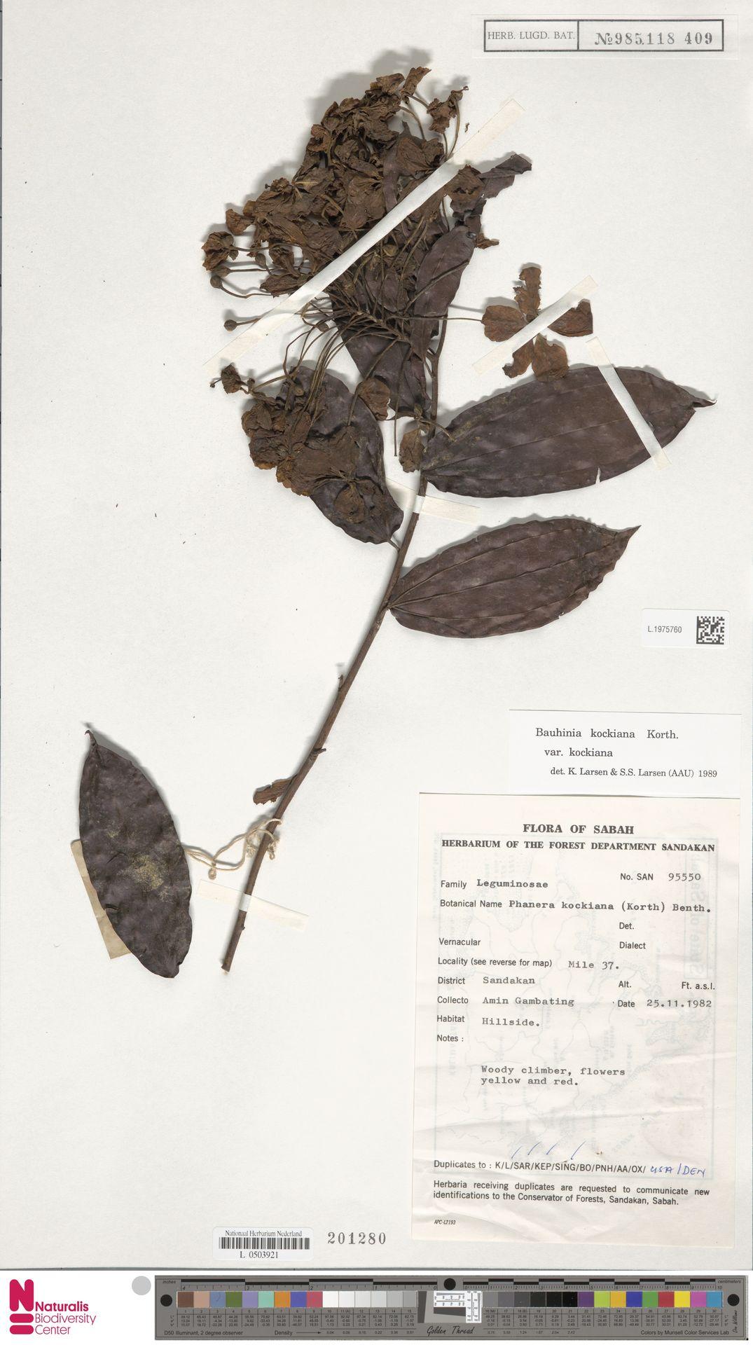 L.1975760 | Bauhinia kockiana var. kockiana