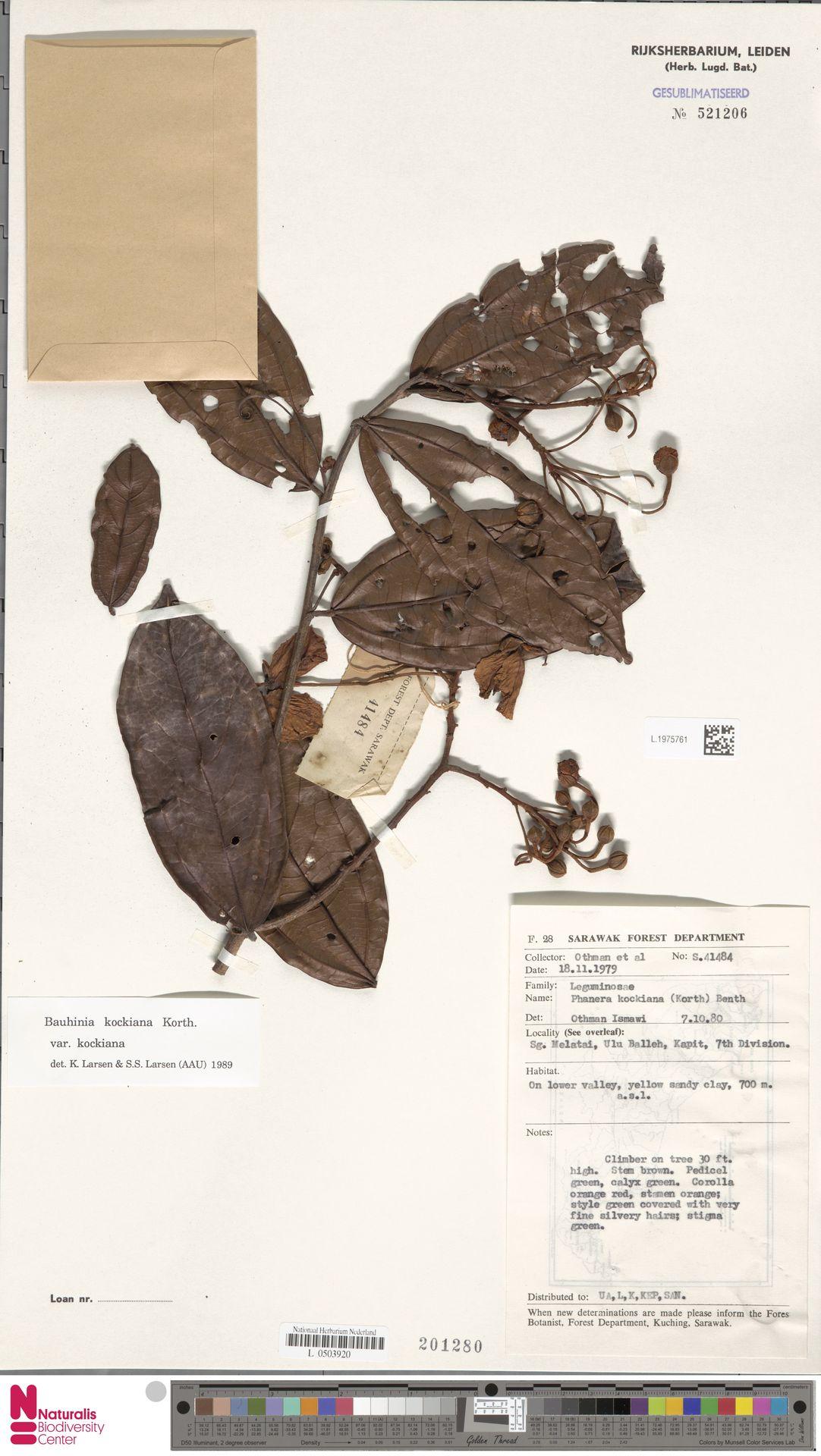 L.1975761 | Bauhinia kockiana var. kockiana