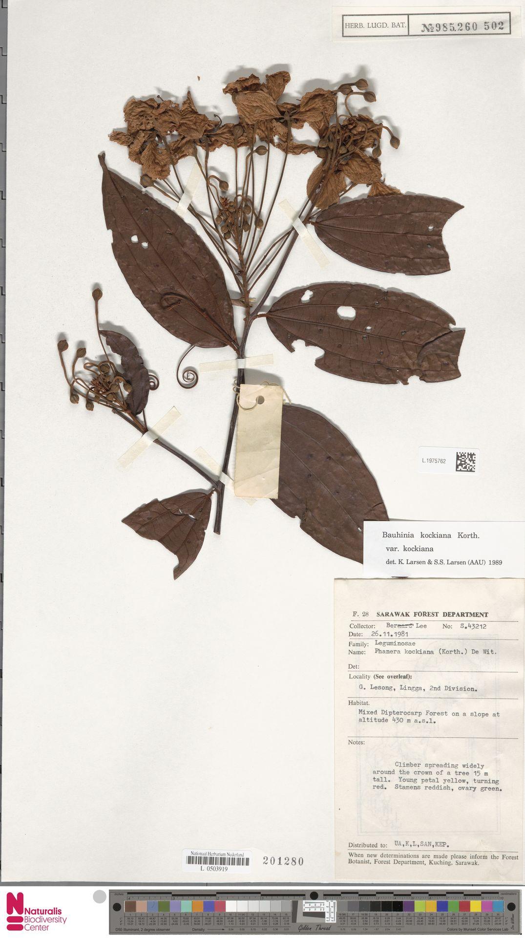 L.1975762 | Bauhinia kockiana var. kockiana