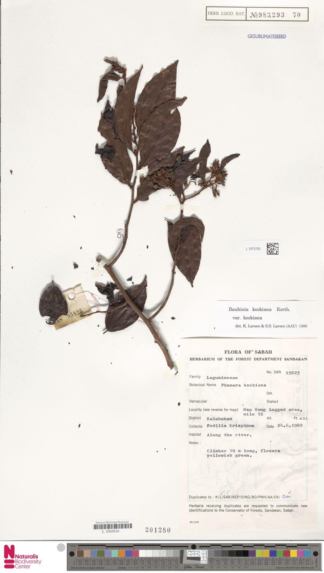 L.1975763 | Bauhinia kockiana var. kockiana