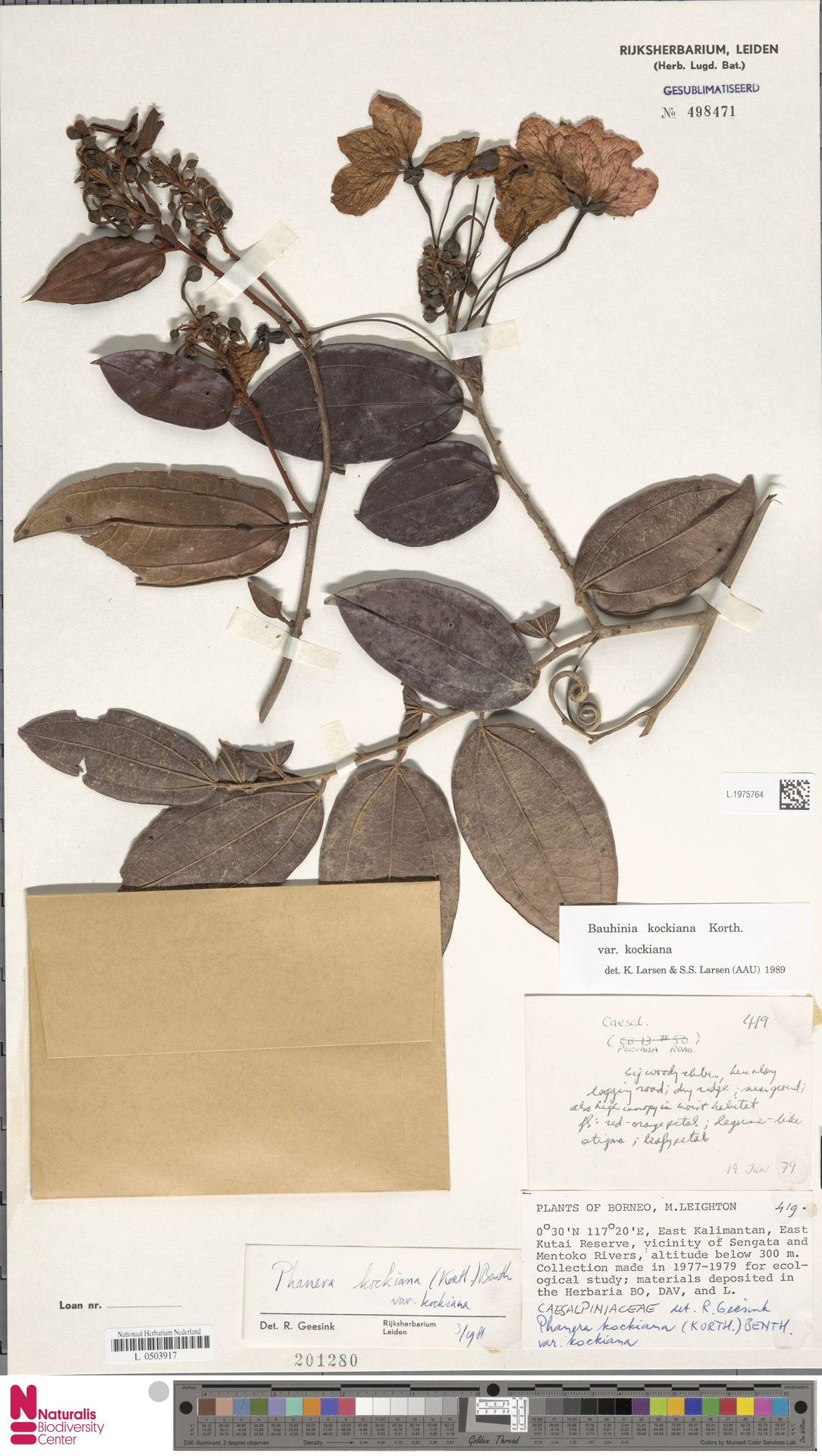 L.1975764 | Bauhinia kockiana var. kockiana