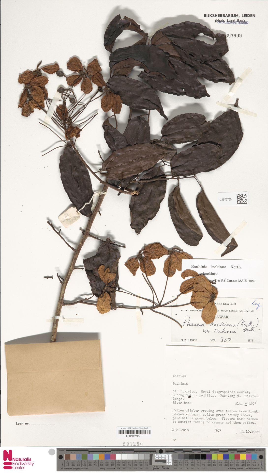 L.1975765 | Bauhinia kockiana var. kockiana