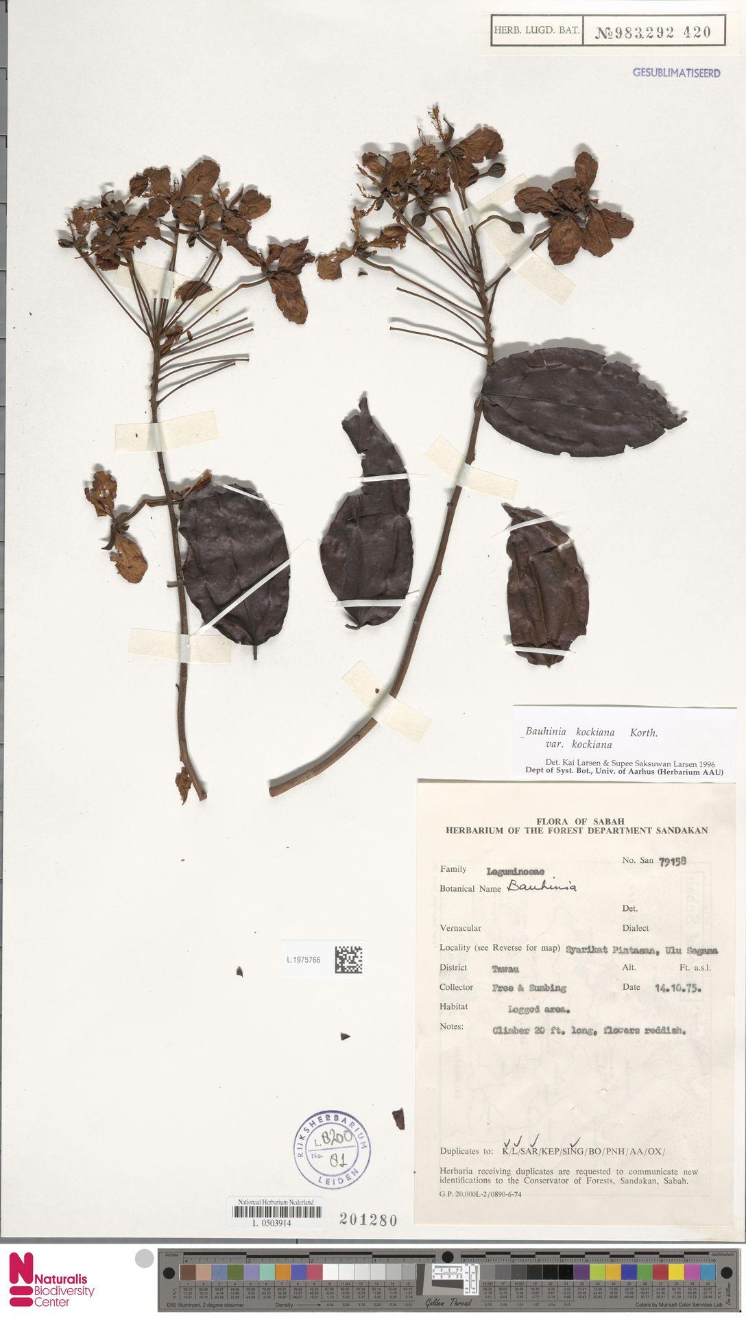 L.1975766 | Bauhinia kockiana var. kockiana