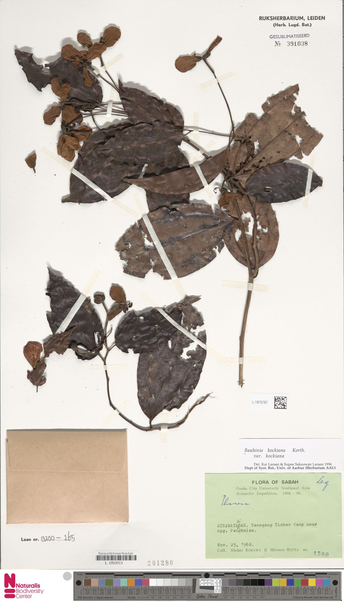 L.1975767 | Bauhinia kockiana var. kockiana