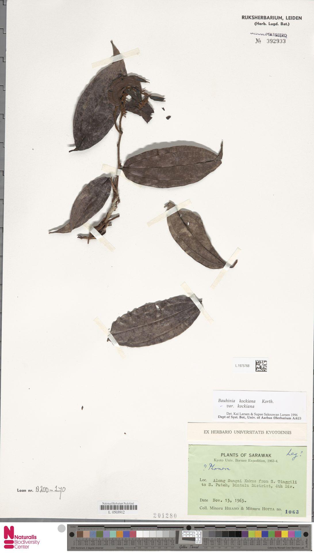 L.1975768 | Bauhinia kockiana var. kockiana