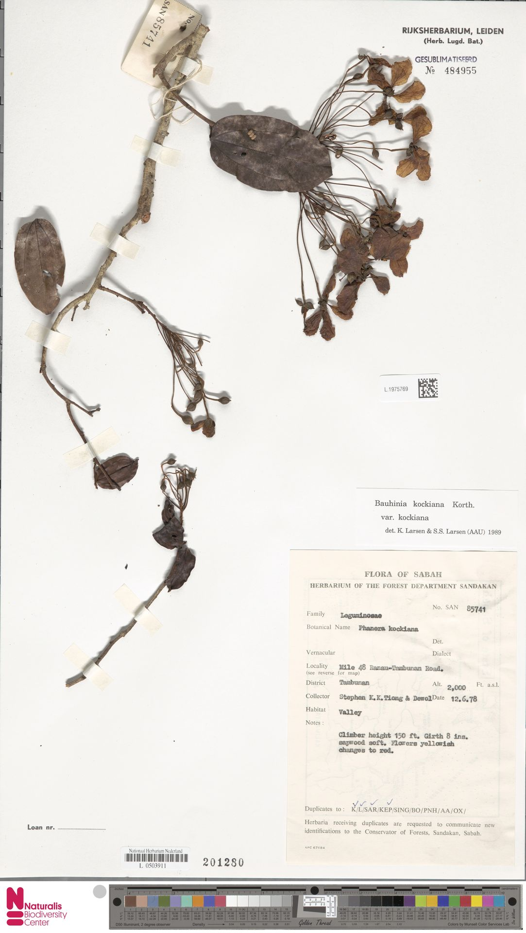 L.1975769 | Bauhinia kockiana var. kockiana