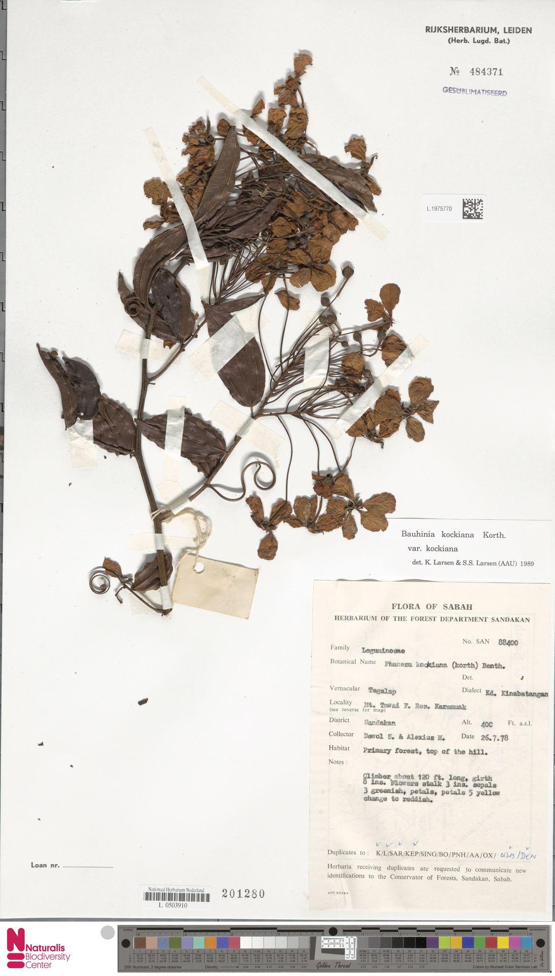 L.1975770 | Bauhinia kockiana var. kockiana