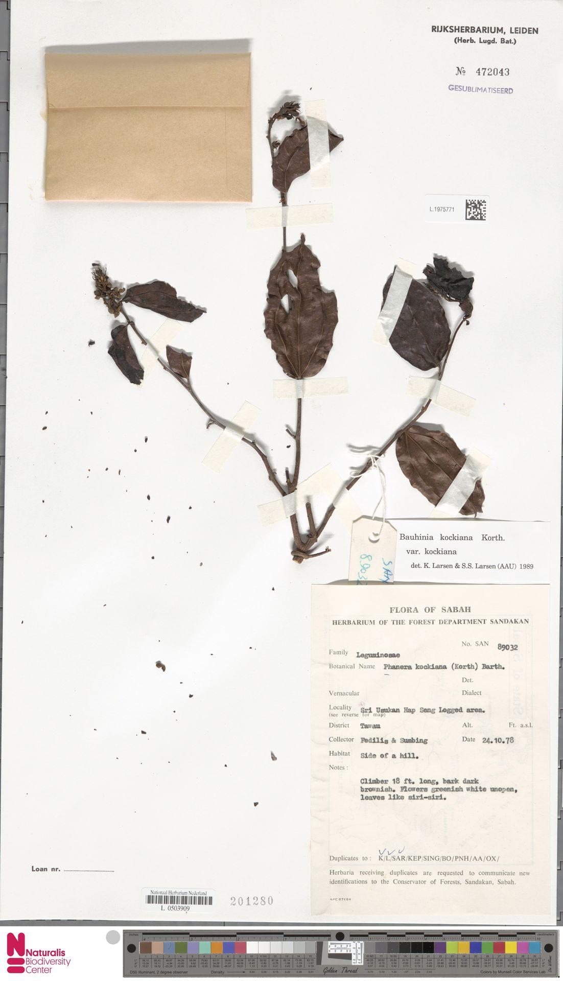 L.1975771 | Bauhinia kockiana var. kockiana