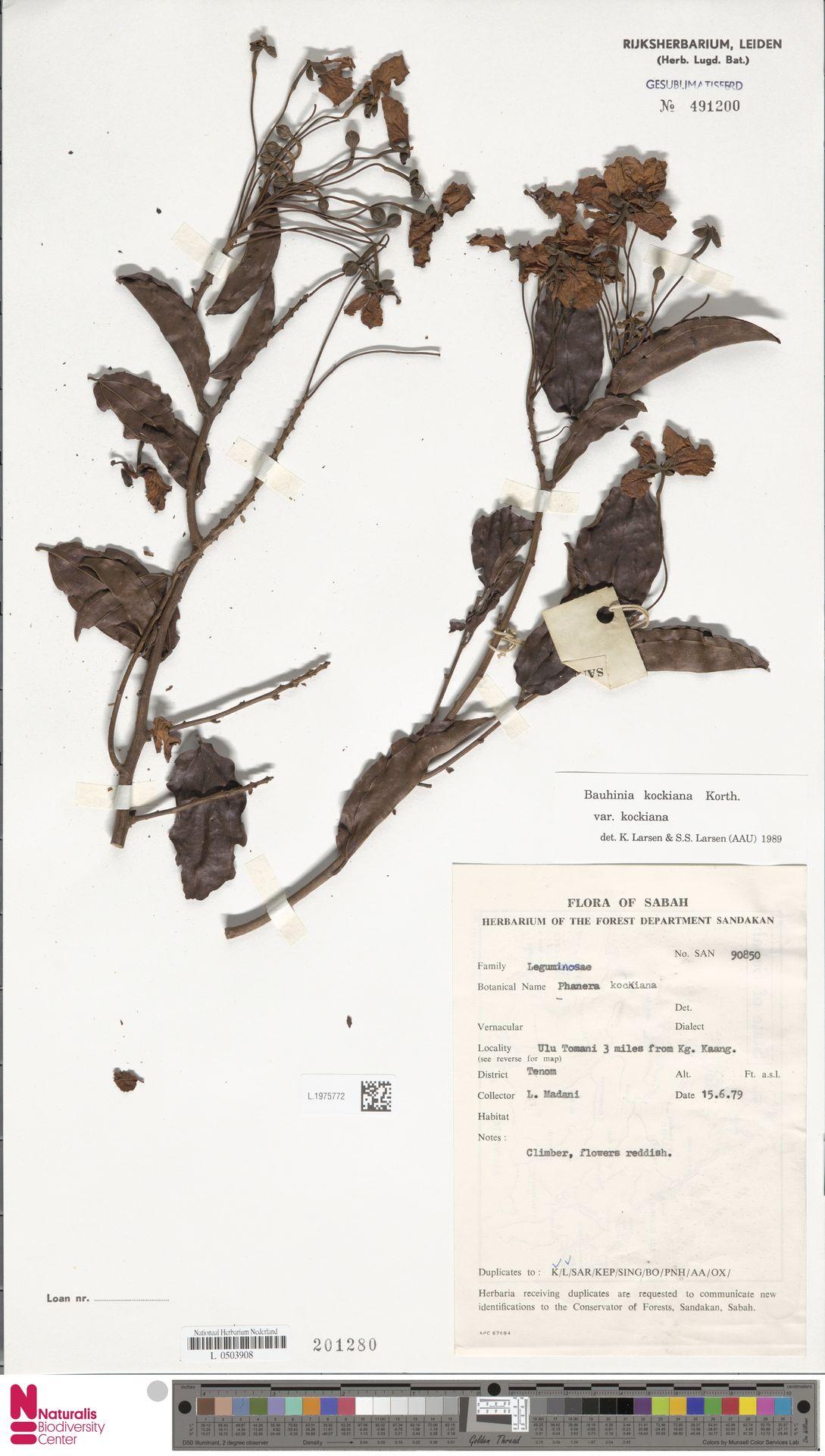 L.1975772 | Bauhinia kockiana var. kockiana