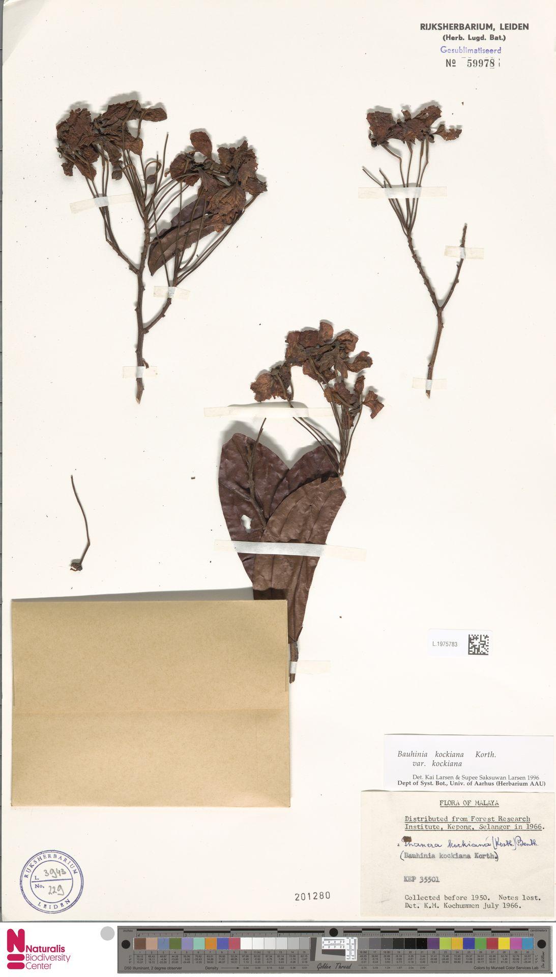 L.1975783 | Bauhinia kockiana var. kockiana