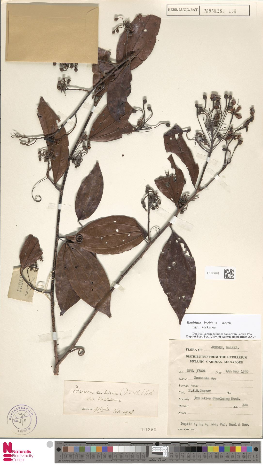 L.1975784   Bauhinia kockiana var. kockiana
