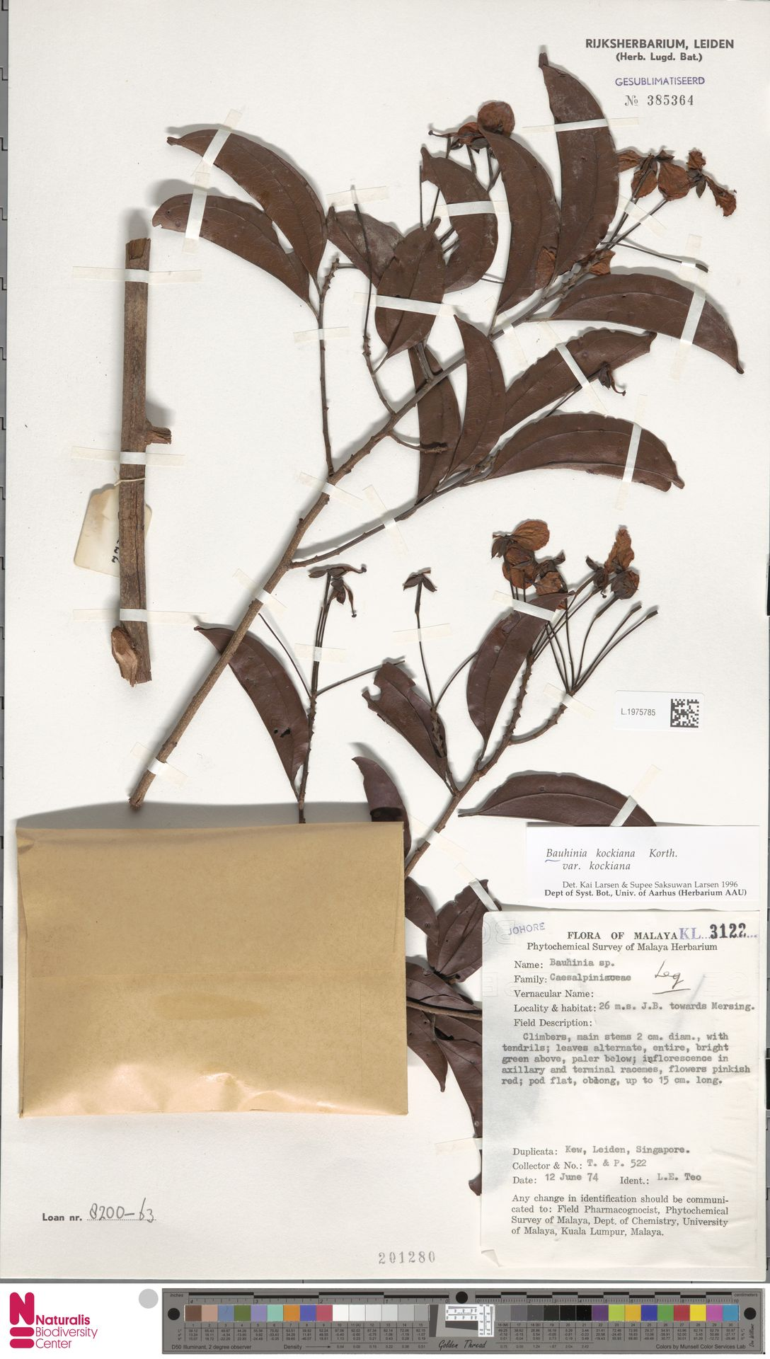 L.1975785 | Bauhinia kockiana var. kockiana