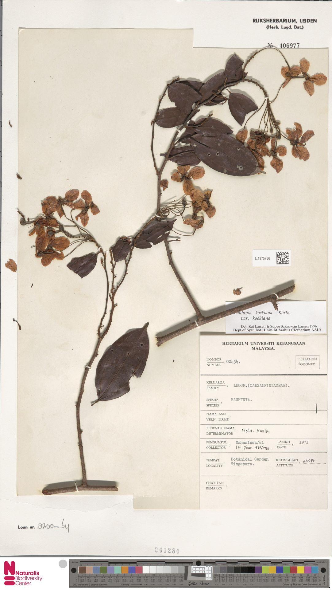 L.1975786 | Bauhinia kockiana var. kockiana