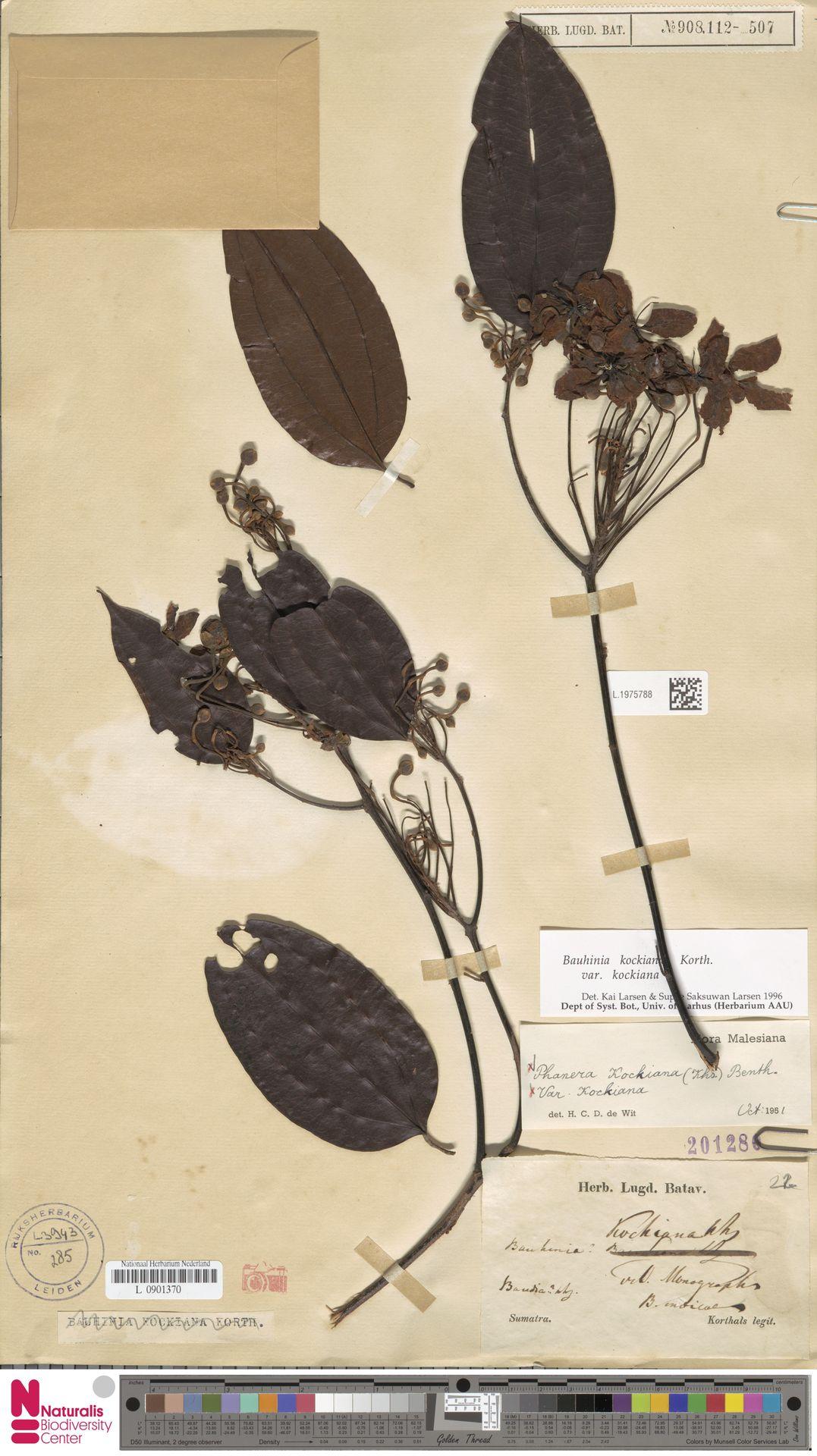 L.1975788 | Bauhinia kockiana var. kockiana