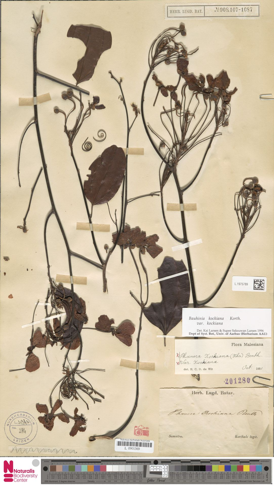 L.1975789 | Bauhinia kockiana var. kockiana