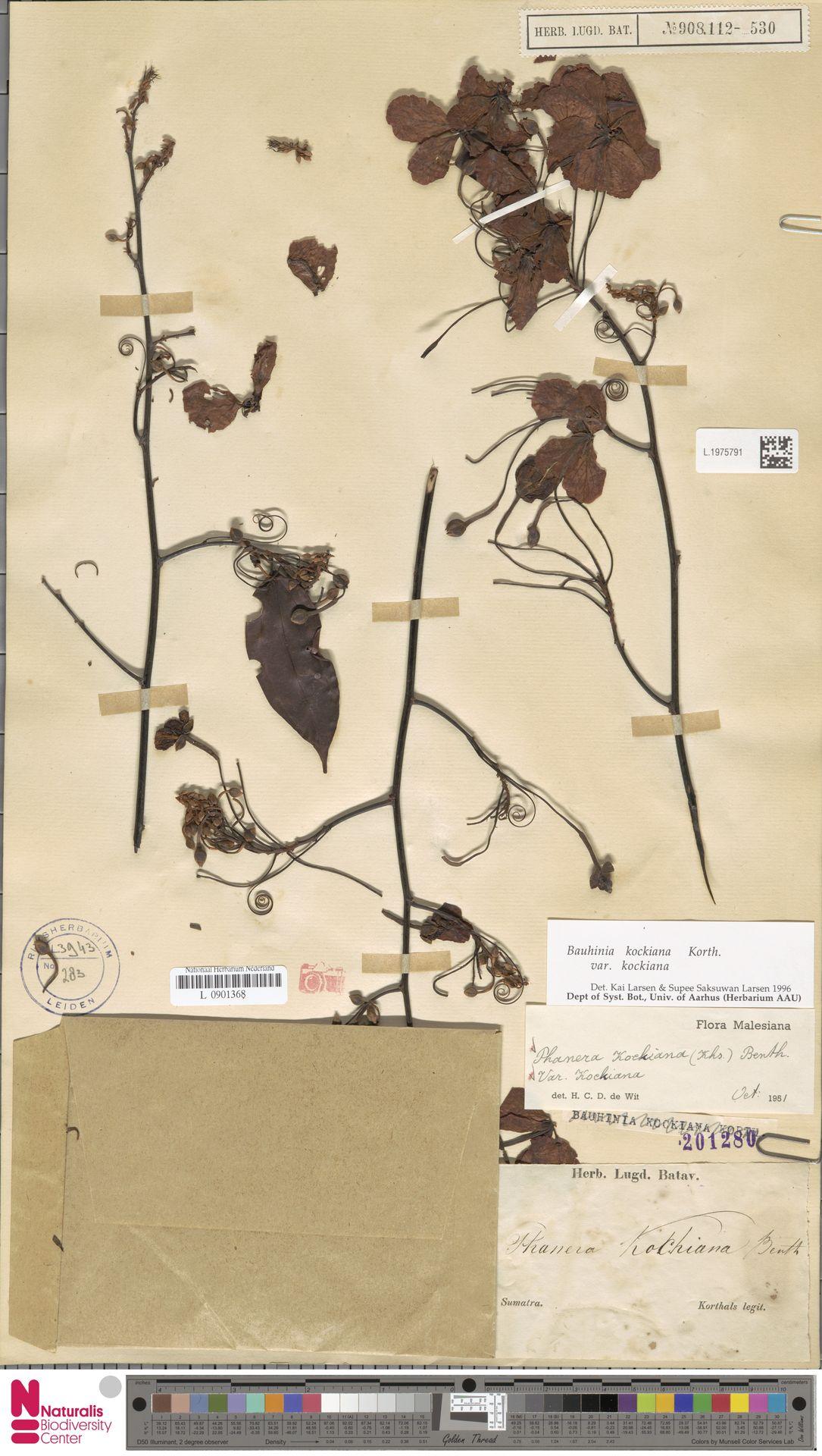 L.1975791 | Bauhinia kockiana var. kockiana