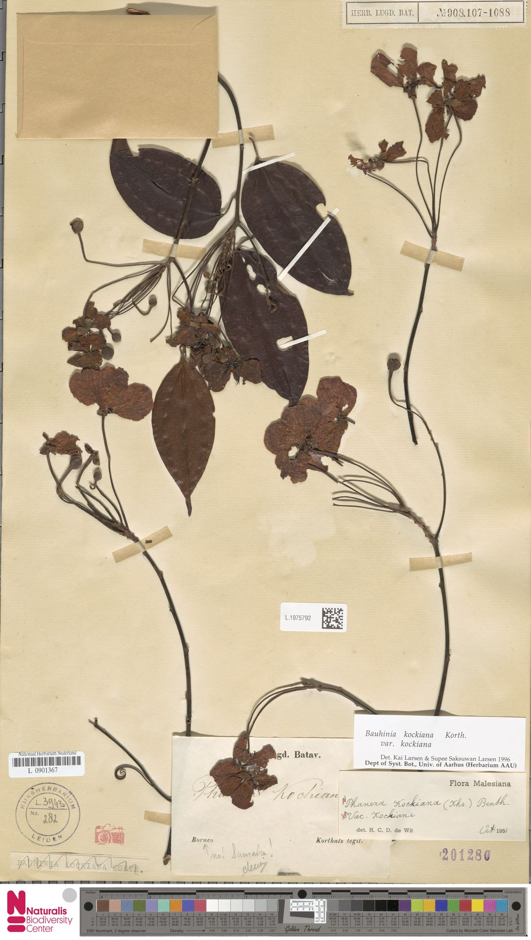 L.1975792 | Bauhinia kockiana var. kockiana