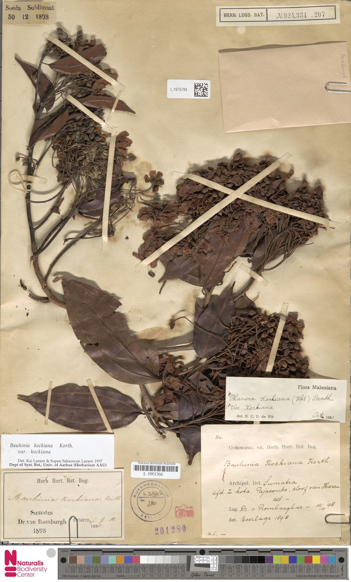 L.1975793 | Bauhinia kockiana var. kockiana